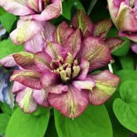 Clematis Innocent Glance